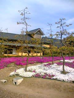 なばなの里の芝桜